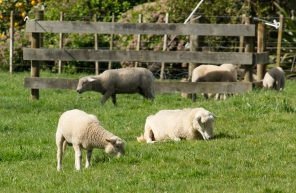 Spring Lambs growing fast