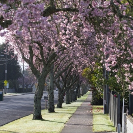 Spring Blossom on cherry tress along Matangi Road in village